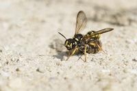 Weevil Wasp with prey, Cerceris arenaria, Sandknotenwespe mit Beute