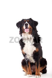 Bernese mountain dog sitting