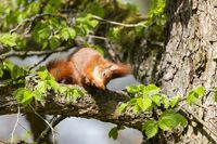 Red Squirrel 27