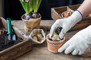 Gardening and planting concept. Woman hands planting hyacinth in ceramic pot. Seedlings garden tools tubers (bulbs) gladiolus and hyacinth flowers pink hyacinth. Toned and processing photo.