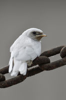 in portrait format... white Barn Swallow *Hirundo rustica*