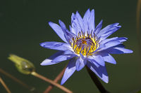 blue pigmy [Nymphaea colorata]