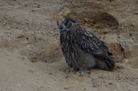 in last light... Eurasian Eagle Owl *Bubo bubo* at dusk perched on a cliff ledge in a sand pit