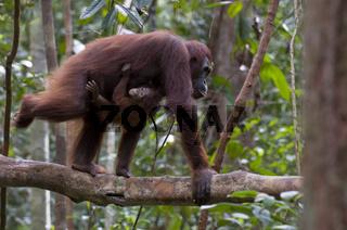 Borneo-Orang-Utan Weibchen mit Jungem / Orangutan / Pongo pygmae