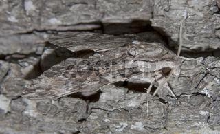 Windenschwärmer  Agrius convolvuli