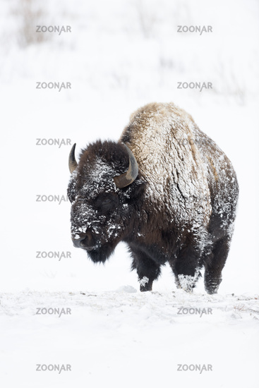 covered with snow and ice... American Bison *Bison bison*
