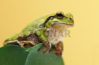 cute green tree frog on a leaf ( Hyla arborea )