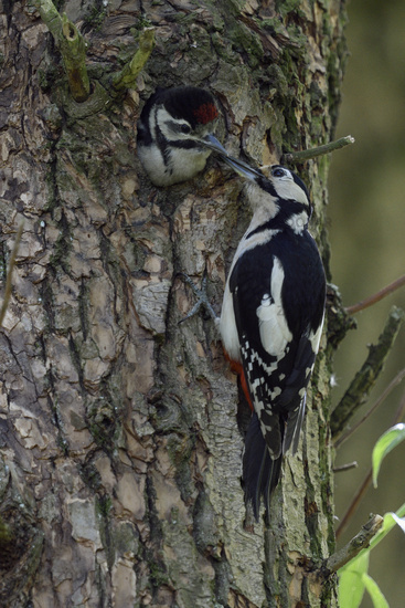 feeding its chick... Great Spotted Woodpecker *Dendrocopos major*