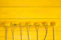 Dandelion flowers on a yellow background