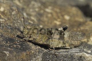 Blaufluegelige Oedlandschrecke, Oedipoda caerulescens, Blue-winged Grasshopper