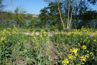 Brassica napus, Raps, Rape, Biberschaden, damage by castor