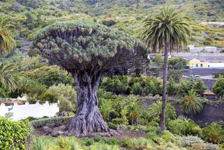 Tausendjähriger, kanarischer Drachenbaum (Dracaena draco) Drago