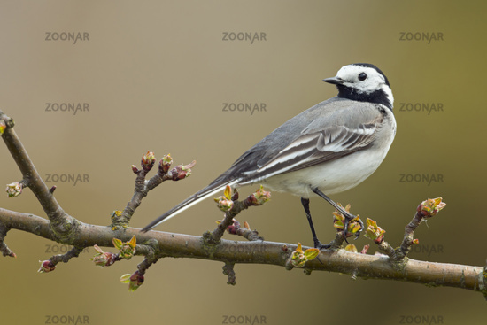 in rare situation... Pied Wagtail *Motacilla alba*