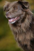 smiling brown dog
