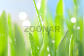fresh wet grass in sun rays, closeup