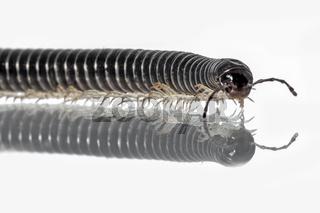 Nahaufnahme eines langen , krabbelnden schwarzer Tausendfüßlers  auf spiegelnder Oberfläche