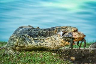 Lizard holding dead turtle