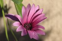 Kapmargerite | Cape daisy