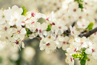 Spring background art with white cherry blossom. Beautiful nature scene with blooming tree and sun flare. Sunny day. Spring flowers. Beautiful orchard. Abstract blurred background. Shallow depth of field.