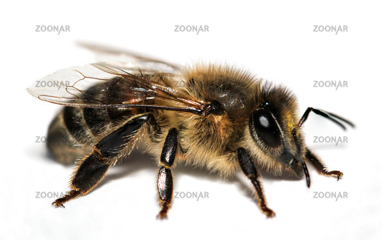 Macro of a bee, insect, nature, animal