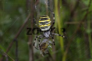 Wespenspinne, Argiope bruennichi, wasp spider