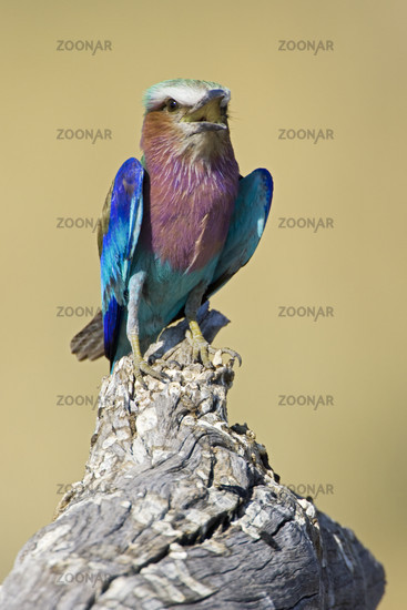 Lilac-breasted Roller, (Coracias caudata),Africa