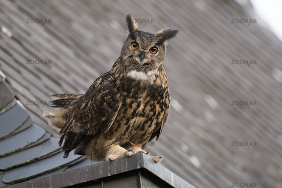 perched on a roof... Eurasian Eagle Owl *Bubo bubo*, male adult with long tufted ears watching