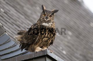 auf dem Dachsims... Europäischer Uhu *Bubo bubo* Altvogel mit langen Federohren u. weißem Brustfleck