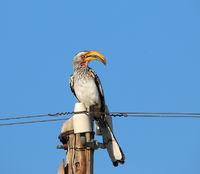 Namibia, Hornbill