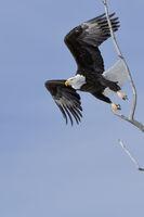 taking off from a tree... Bald Eagle *Haliaeetus leucocephalus* against blue sky