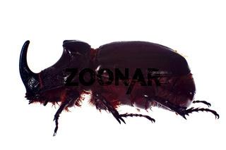 Rhinoceros beetle, isolated on a white background