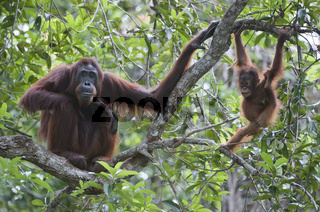 Borneo-Orang-Utan Mutter mit Jungem / Orangutan mother with chil