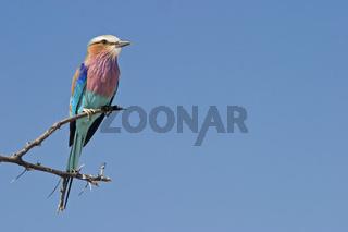 Gabelracke, Gruenscheitelracke (Coracias caudata), Etosha-Nationalpark, Namibia, Afrika, Lilac-breasted Roller, Etosha NP, Africa
