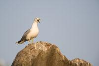 Weisskopfmoewe - Yellow-legged Gull - Larus cachinnans