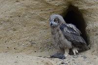 almost fledged... Eurasian Eagle Owl *Bubo bubo*