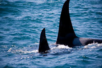 Family of Wild Orca Whales