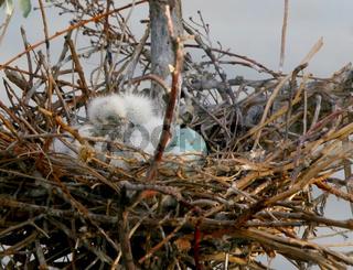 Snowy Egret Hatchilings