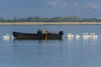 Dalmatian Pelican Lake Kerkini with fisherboat, Pelecanus crispus, Krauskopf Pelikan