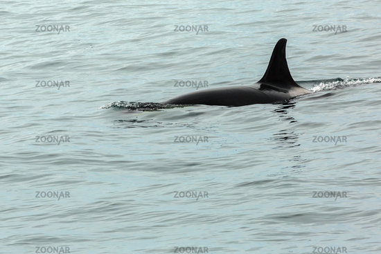 Killer Whale - Orcinus Orca in Pacific Ocean. Water area near Kamchatka Peninsula.
