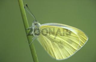 Rapsweissling Weibchen an Halm, Pieris napi, Green-veined White