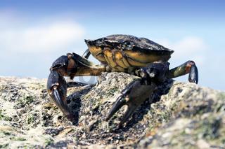 Sea Crab