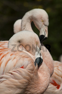 Chileflamingo, Phoenicopterus chilensis / Chilean Flamingo, Portrait
