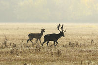 two fallow deers in mating season on meadow ( Dama )