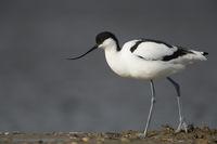 full body, side view... Pied Avocet *Recurvirostra avosetta*