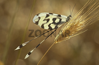 Lacewing On A Grass Stem