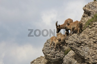Alpine ibex family on Mt Stockhorn