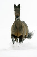Brown mare in the snow