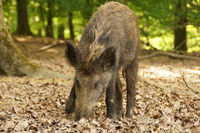 A young pig in the forest is looking for food with his fine nose.