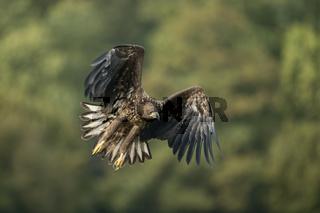 entschlossen... Seeadler *Haliaeetus albicilla*