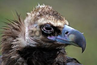Geier, Pleitegeier, vulture, Finanzkrise